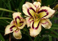 Photo of Daylily (Hemerocallis 'Party Pinwheel') uploaded by Calif_Sue