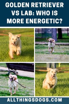 If you are looking for a dog that loves to get outside and join you for a run, walk or adventure then both breeds are perfect. However, the Golden Retriever vs Lab energy levels are very different.  #goldenretrievervslabrador #goldenretrievervslab #labradorvsgoldenretriever
