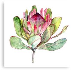 Watercolor Flowers Discover Pink Protea Flower - Large Botanical Art Print Watercolor Painting Bright Flower Wall Art Pink and Green Art - South Africa Art Protea Art, Flor Protea, Protea Flower, Botanical Drawings, Botanical Art, Botanical Flowers, Art Floral, Flower Graphic, Watercolor Flowers