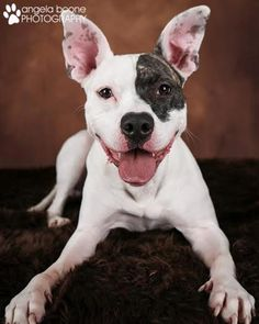 Meet Dessa D1639, a Petfinder adoptable Pit Bull Terrier Dog | minneapolis, MN | You can fill out an adoption application online on our official website.Hi, my name is Dessa! I was...