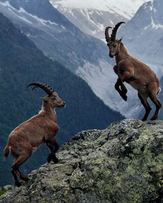 We have big horn sheep all over our mountains in Utah..Southern Utah's Exclusive Buyers Agent. https://www.facebook.com/MelindaGoodwinLuxuryRealEstateAgent