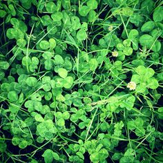 Always on the lookout for a four leafed clover. #clover #plant #spring #fourleafed #green #leaf #leaves #nature #wild #texture #luck #fortune #grow #bucolic #pastoral #vitality #beautiful #peace #calm