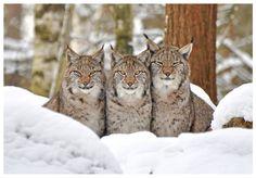 Lynx mom and boys Nature Animals, Animals And Pets, Funny Animals, Cute Animals, Wild Animals, Big Cats, Cool Cats, Eurasian Lynx, Lynx Lynx