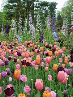 delphiniums-tulips in drifts