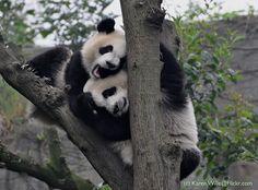 :: Panda