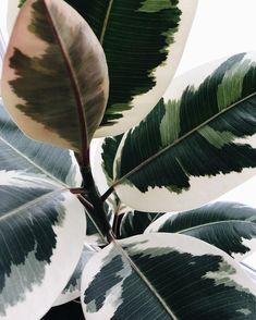 Green Plants, Potted Plants, Indoor Plants, Ficus Elastica, Cactus, Rubber Plant, Plant Background, Different Plants, Interior Plants