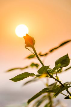 Wallpaper Nature Flowers, Beautiful Flowers Wallpapers, Sunset Wallpaper, Pretty Wallpapers, Flower Wallpaper, Beautiful Flower Quotes, Beautiful Beach Pictures, Amazing Flowers, Beautiful Roses