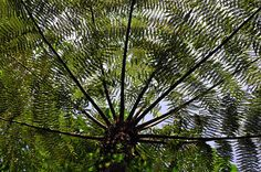 A tree fern in Chishui, southwest China's Guizhou Province. Chishui is among the handful of habitats of tree fern, a paleozoic plant that is on the verge of extinction Photograph: Du Juanjuan/Corbis