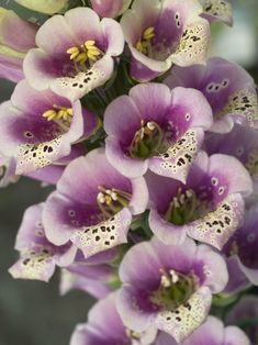 Digitalis Candy Mountain Peach -- Bluestone Perennials