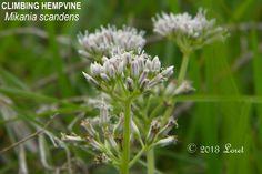 Florida Native Plants - The Climbing Hempvine.