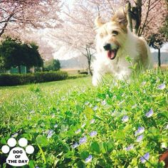 """DOG OF THE DAY  @hanamomo1011 Apr.24,2012"