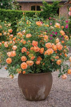 """Rose Garden British article on the best container roses. (This is the David Austin rose, 'Lady of Shalott' - """"an ideal rose for the inexperienced gardener. Rosas David Austin, David Austin Rosen, Container Plants, Container Gardening, Gardening Tips, Organic Gardening, Indoor Gardening, Vegetable Gardening, Flowers In Containers"""