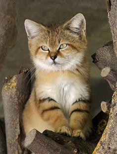 Desert Sand cats are adorable animals, I love their stripy legs!