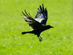 La Corneille noire (emCorvus corone/em) est un Corvidé commun. Elle est entièrement noire ce qui la distingue de la Corneille mantelée, du Corbeau freux notamment. Le grand corbeau (emCorvus corax/em), entièrement noir également est beaucoup plus gros et vit essentiellement en montagne.br / Classification : Tétrapodes / Amniotes / Sauropsides / Diapsides / Archosauriens Oiseaux / Passériformes