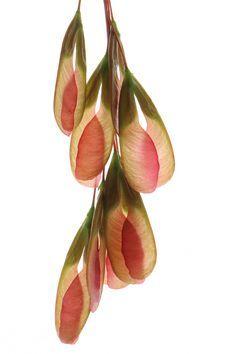 boxelder seeds (mary jo hoffman)