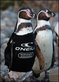 ☼ Ralph the featherless penguin, sponsored by O'Neill, too cute! Marwell Zoo, Humboldt Penguin, Penguins, Wetsuit, Funny Animals, Haha, Live, Places, Collection