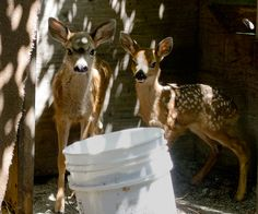 These two rescued fawns are a few days away from being transferred to a home-rehabber who will raise them in a large outdoor enclosure until they are ready to be released back into the wild. The enclosure, on a mountain ridge, is next to an established deer trail. (IMG_9652)