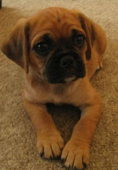 Pugalier puppy - look at that face