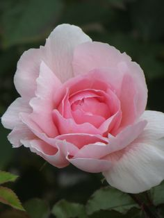 'The Wedgwood Rose' ~ David Austin, a beautiful shrub rose with charming Old Rose qualities, named for the famous pottery