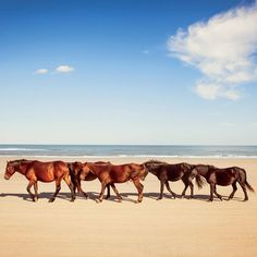 Greetings from Carova Beach, North Carolina! In a wonderful confluence of orderly and untamed, North Carolina's wild Banker horses pace the sands of this Outer Banks beach. | Coastalliving.com