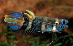 Clown Killifish – Pseudepiplatys Annulatus | Tropical Fish Site #TropicalFishFreshwater #TropicalFishAquariumIdeas