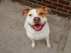 TO BE DESTROYED 2/25/14 Brooklyn Center. My name is LUKE. My Animal ID # is A0990829.I'm a neutered male white/tan pit bull mix approx 3 YRS. He's an absolutely stunning big boy and is dying to be a happy-go-lucky boy but he's never been given the chance. He's literally going to die when the shelter kills him tomorrow - friendless and alone https://www.facebook.com/photo.php?fbid=761563663856515&set=a.611290788883804.1073741851.152876678058553&type=3&theater