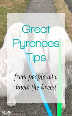There can be a lot of misinformation about the Great Pyrenees breed. We polled thousands of Great Pyrenees lovers to get their top Great Pyrenees tips. Pyrenees Puppies, Great Pyrenees Puppy, Puppy Love, Newfoundland Puppies, Cute Dog Photos, Dog Branding, Dog Care Tips, Mountain Dogs, Dog Training Tips