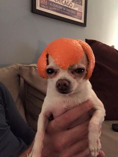 Cute puppy pup with an orange on his head ❤❤❤ Funny Animal Jokes, Funny Dog Memes, Cute Memes, Cute Funny Animals, Funny Cute, Funny Dogs, Cute Animal Photos, Funny Animal Pictures, Cute Puppies