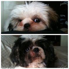Luna & Pepper #shihtzu #dog #philippines #フィリピン #シーズー #犬