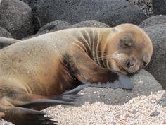 baby sea lion snoozin'