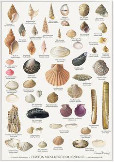 Havets muslinger og snegle | A4 Plakat – Lollik