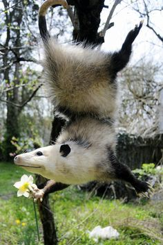 Opossum: eats almost everything, mammal, can reach 2,5 ft or 76 cm at lenght, more than 60 species, inhabitates in United States and Canada, they are scavengers and often visits human houses, they are immune to rabies, has partial or total immunity to some snakes.