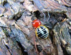Ladybird Crab Spider - Camaricus nigrotesselatus
