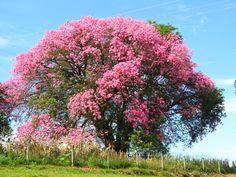 Chorisia speciosa, un árbol de preciosas flores - http://www.jardineriaon.com/cuidados-de-la-chorisia-speciosa.html #plantas