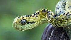 Atheris Hispida (spiny brush viper/hairy brush viper)