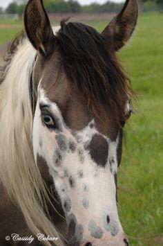 APHA Tobiano Mares - Shining C Grulla Horses