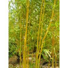 Golden Fishpole Bamboo for privacy screen