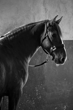 Horse, hest, beauty, animal, cute, alert, interested, beautiful, gorgeous, photograph, photo b/w.