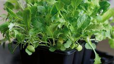 Här är odlingstrenden alla kan hoppa på! För att odla mikrogrönt krävs varken trädgård eller balkong – det räcker med ett soligt fönster!