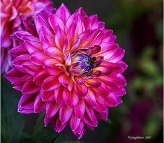 Refashioned Dahlia, Photo taken аt Duncan Garden іn Spokane, WA. Bokeh, Perfect World, Trees And Shrubs, Beautiful Flowers, Beautiful Life, Beautiful Things, Flower Power, Outdoor Gardens, Planting Flowers