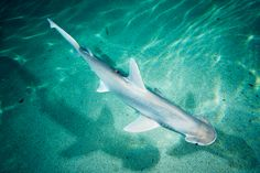 Our bonnethead sharks have moved to their new home in our Atlantic Coral Reef exhibit! #AnimalUpdate