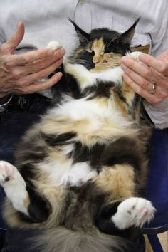 There were the giant Maine Coons – in every color.