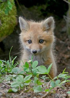 This Baby Red Fox Is The Sleepiest Cutest Pet Ever Baby Red - Domesticated baby fox is the cutest and sleepiest pet ever