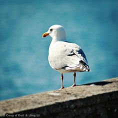 La mouette - Photographie Nature, Decor, Nature Art, Photo Oiseau, Mer, Ocean,Bleu - sea - bird