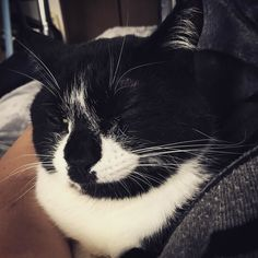 昼寝してたらいつの間にか私の左腕と体の間にスッポリごきげんでノドをゴロゴロ私も幸せ #はちわれ #cat #neko #ねこ #白黒猫 #にゃんだふるらいふ