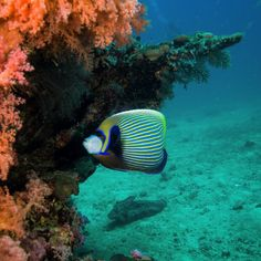 #emperorangelfish #kohrok #underwaterworld #bestscubaspots #sealife #fish #angelfish #coralreefs #scubalife #uwphotography #loves_underwater #livetodive #scuba #marinelife