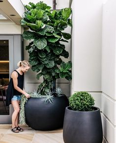 How to prune and shape your Fiddle Leaf Fig Tree. Learn how best to shape your Fiddle Leaf Fig Tree so it is growing tall and straight. Fig Leaf Tree, Fiddle Leaf Fig Tree, Best Indoor Plants, Outdoor Plants, Fig Plant Indoor, Patio Plants, Tree Planters, Black Planters, Large Indoor Planters
