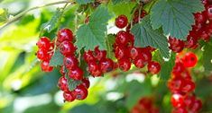 Black currant bush black currant plant rooted by Dish Garden, Fruit Garden, Black Currant Plant, Berry Plants, Red Lake, Comment Planter, Plant Cuttings, Gardening Zones, Health Tips
