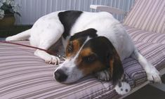 Jackabee- One of the best dogs I ever had and still have! I love her!