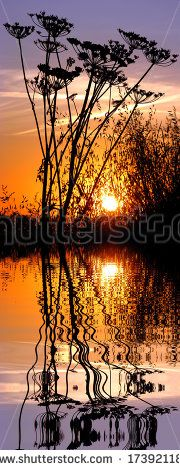 Vertical panoramic of sunset with silhouette umbellifer flowers and large grass above water with reflection, digital effect